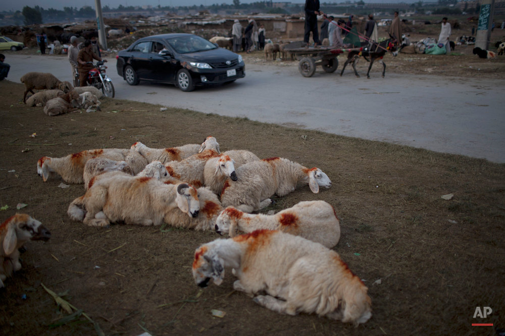 Unsold sheep rest along a street on the Muslim holiday of Eid al-Adha, or Feast of Sacrifice, on the outskirts of Islamabad, Pakistan, Monday, Oct. 6, 2014. Muslims around the world celebrate Eid to commemorate what Muslims believe was Prophet Abraham's willingness to sacrifice his son Ismail.  On the start of Eid al-Adha, Muslims slaughter sheep, cattle and other livestock, and give part of the meat to the poor. (AP Photo/Muhammed Muheisen)