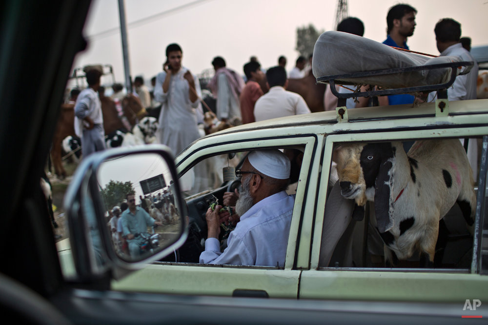 "A goat looks out of a taxi stuck in traffic after it was bought by a Pakistani man from a livestock market for the Muslim holiday of Eid al-Adha, or ""Feast of Sacrifice,"" near Islamabad, Pakistan, Sunday, Oct. 5, 2014. Muslims around the world celebrated Saturday to commemorate the willingness of the prophet Ibrahim - or Abraham as he is known in the Bible - to sacrifice his son in accordance with God's will, though in the end God provides him a sheep to sacrifice instead. Muslims slaughter sheep, cattle, and other livestock, and give part of the meat to the poor. (AP Photo/Muhammed Muheisen)"