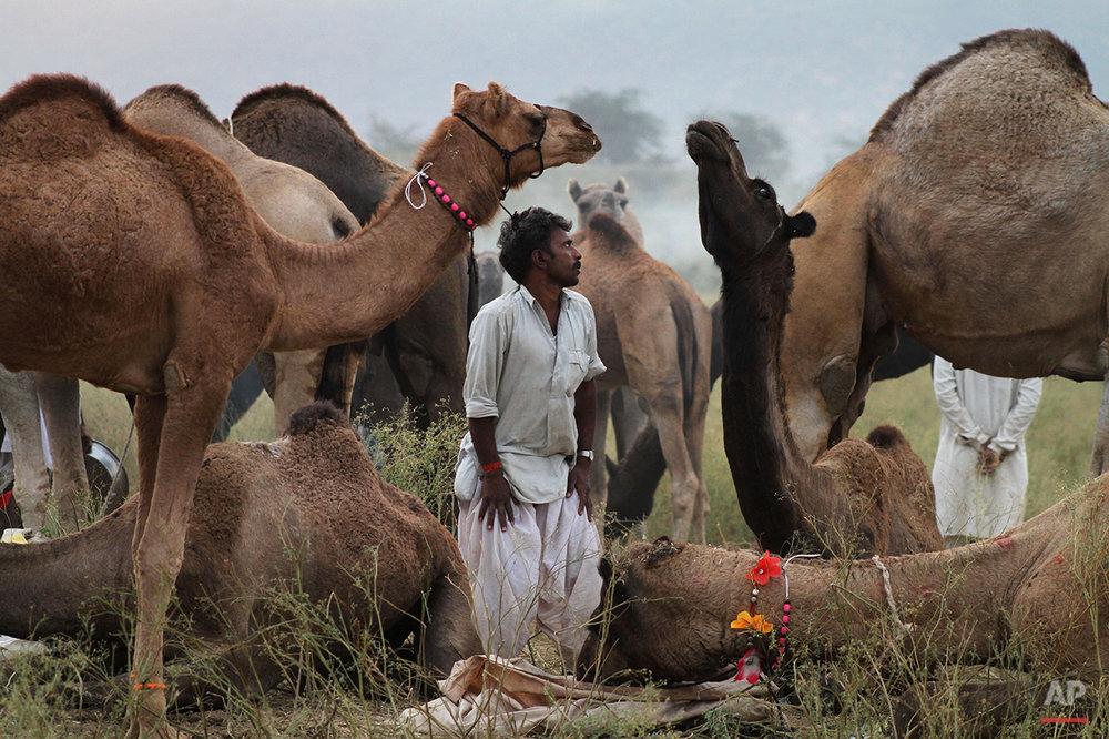 APTOPIX India Cattle Fair