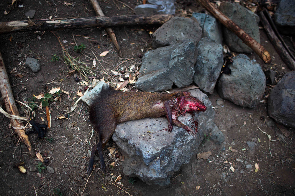 In this Sept. 5, 2014 photo, a weasel hunted by members of the Belen Chapi Civil Defense Committee lies dead on a stone before it is skinned and added to the evening's soup, at a makeshift camp set up by forensic investigators, in the Peruvian village Paccha, the site of a 1984 massacre. The group traveled to the rugged southeastern region known as ìOreja de Perro,î or Dogís Ear, which lacks telephones, grocery stores and good roads, to begin unearthing the remains of the nearly two dozen victims of the July 14. (AP Photo/Rodrigo Abd)