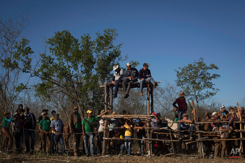 """In this July 24, 2015 photo, cowboys watch the annual Catch the Bull event known as """"Pega do Boi"""" from the edges of the corral in Serrita, in Brazil's Pernambuco state. Bulls supplied by local ranchers are herded into the corral where they wait to be let loose into the shrub-dotted terrain. ìMay the fastest win!î an announcer shouts over a loudspeaker, and the annual competition begins. (AP Photo/Eraldo Peres)"""
