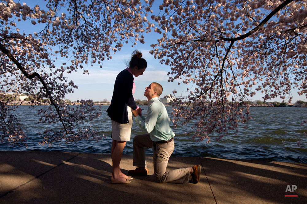 With the Jefferson Memorial in the background, Steven Paska, 26, right, of Arlington, Va., kneels as he asks Jessica Deegan, 27, his girlfriend of two years, to marry him, near cherry blossom trees in peak bloom along the tidal basin in Washington, Thursday, April 10, 2014. Deegan said yes to the surprise proposal. (AP Photo/Jacquelyn Martin)