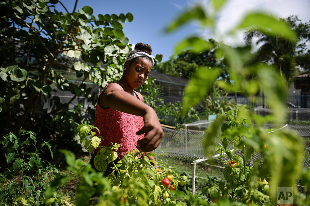 "In this Sept. 23, 2016 photo, Madeline de los Santos picks ""aji"" chiles at Capetillo community garden where residents collaborate in Rio Piedras, Puerto Rico. Urban community gardens are popping up across the capital that cater to people who want something fresher than the shrink-wrapped imports that have long been standard at stores and restaurants. (AP Photo/Carlos Giusti)"