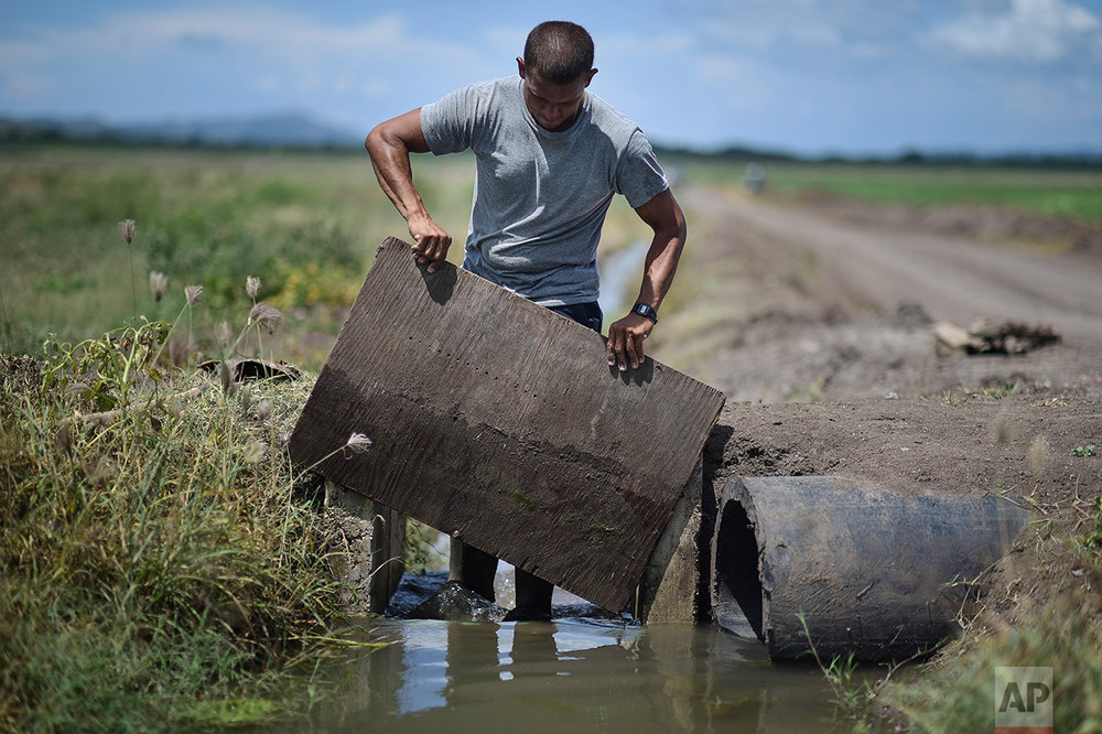 In this Sept. 19, 2016 photo, rice farm worker Jonathan Rodriguez manages the irrigation system at Fraternity Farm in Lajas Valley in Guanica, Puerto Rico. (AP Photo/Carlos Giusti)