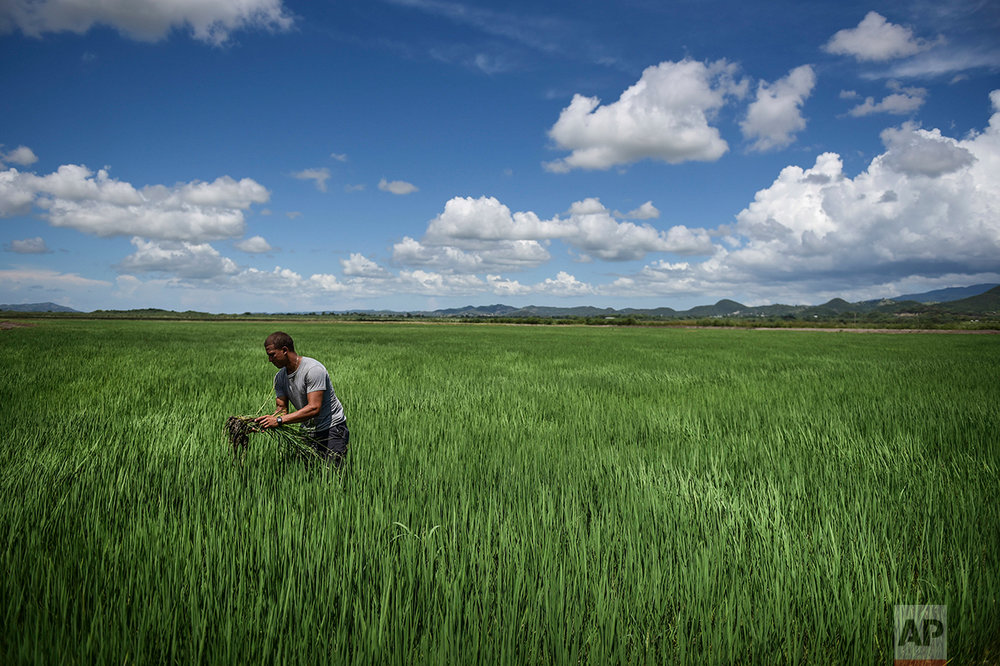 In this Sept. 19, 2016 photo, Jonathan Rodriguez Alicea works in a rice field at Fraternity Farm in Lajas Valley in Guanica, Puerto Rico. (AP Photo/Carlos Giusti)