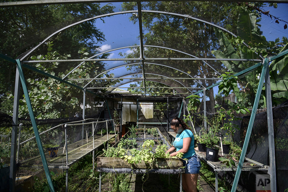 In this Sept. 23, 2016 photo, Marilie Gonzalez attends to oregano and camphor plants growing at the Capetillo community garden where residents collaborate to grow vegetables in Rio Piedras, Puerto Rico. (AP Photo/Carlos Giusti)