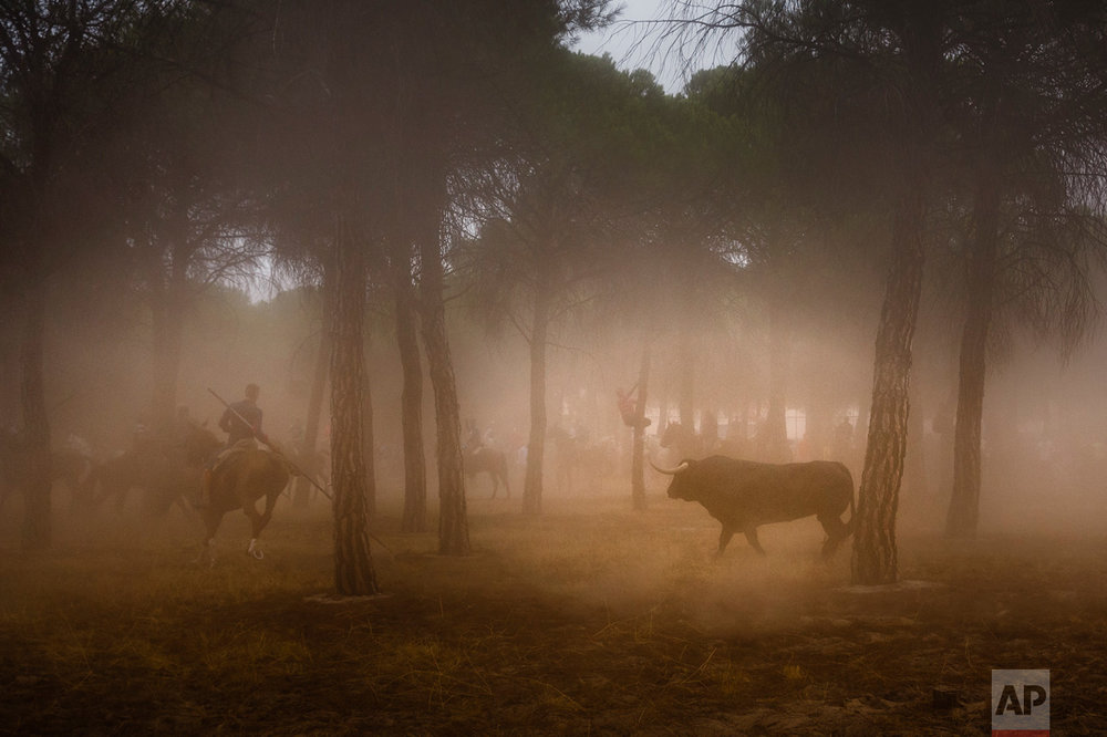 Men on horseback ride through a pine tree forest chased by a brave bull in Tordesillas, Spain, Tuesday, Sept. 13, 2016. Men on horseback and on foot traditionally have chased the bull and speared it in front of thousands of onlookers in what became known as one of Spain's goriest spectacles, but amid increasing protests by animal rights activists the regional government last year banned the killing of bulls at town festivals, though traditional bullfights were not affected. (AP Photo/Daniel Ochoa de Olza)