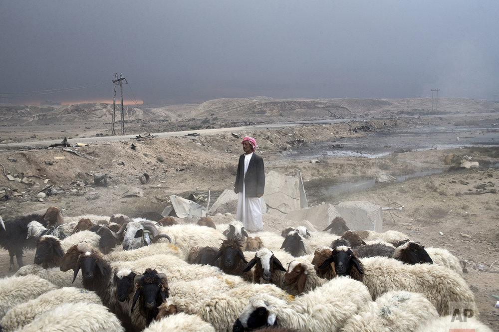 A man tends to a flock of sheep as thick smoke is seen on the horizon in Qayyarah, about 31 miles (50 km) south of Mosul, Iraq, Sunday, Oct. 23, 2016. Islamic State fighters torched a sulfur plant south of Mosul, sending a cloud of toxic fumes into the air that mingled with oil wells the militants had lit on fire to create a smoke screen. (AP Photo/Marko Drobnjakovic)