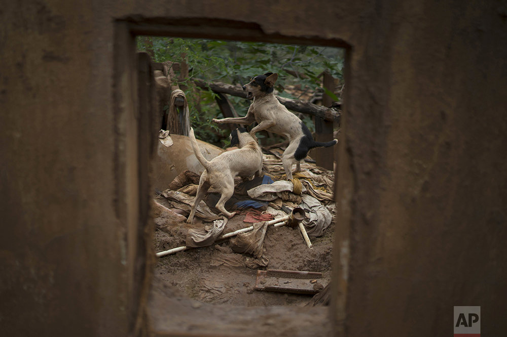 In this Oct. 13, 2016 photo, dogs play in the debris of a house destroyed by a mudslide that was triggered on Nov. 5 2015, by the failing of a dam of a nearby iron mine, in Paracatu, Brazil. Nearly 500 houses, clinics, schools and bridges were wrecked, and 1,200 people were left homeless. (AP Photo/Leo Correa)