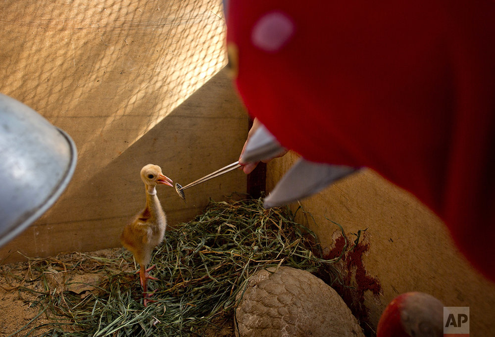 In this Saturday, Nov 5, 2016 photo, bird keeper Sarawut Wongsombat, uses a crane costume to feed eight-day-old sarus crane chick at the Korat Zoo hatchling center, in Nakhorn Ratchasima, Thailand. Raising any type of crane to survive in the wild is a delicate matter, in large part because the birds tend to imprint on humans around them. Wildlife biologists who feed, care for and transport the birds from zoo incubators to temporary outdoor habitats wear fake crane suits to stop the birds from bonding. (AP Photo/Gemunu Amarasinghe)