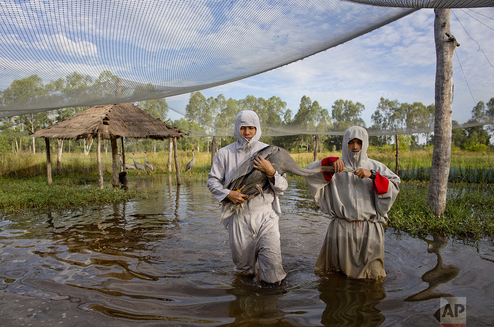 In this Friday, Nov 4, 2016, photo, animal scientists Tanat Uttaraviset, left, and Natawut Wanna in crane suits carry a sarus crane to be reintroduced to the wild at a wetland acclimating center in Buriram, Thailand. (AP Photo/Gemunu Amarasinghe)