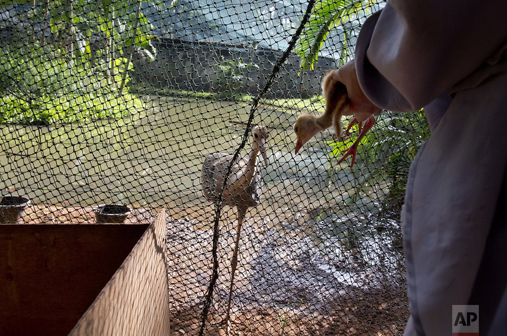In this Saturday, Nov 5, 2016, photo, bird keeper Sarawut Wongsombat, uses a crane costume to clean an eight-day old sarus crane as another young sarus crane reaches closer to watch at the Korat Zoo hatchling center, in Nakhorn Ratchasima, Thailand. (AP Photo/Gemunu Amarasinghe)
