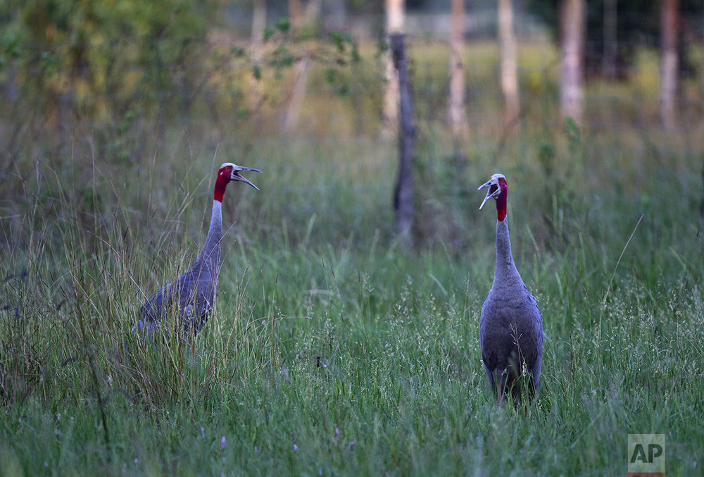 In this Friday, Nov 4, 2016, photo, a pair of sarus cranes, who were introduced to the wildness from a wetland acclimating center, calls out in the wild in Buriram, north eastern Thailand. (AP Photo/Gemunu Amarasinghe)