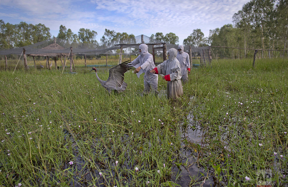 In this Friday, Nov 4, 2016, photo, animal scientists Tanat Uttaraviset, left, and Natawut Wanna, center, dressed in crane suits, release a sarus crane to the wild at a wetland acclimating center in Buriram, Thailand. Two shaky fledglings that had spent the past three months in a temporary, mesh shelter in the wetland, hopped around and flapped their wings before launching on their first flights. (AP Photo/Gemunu Amarasinghe)