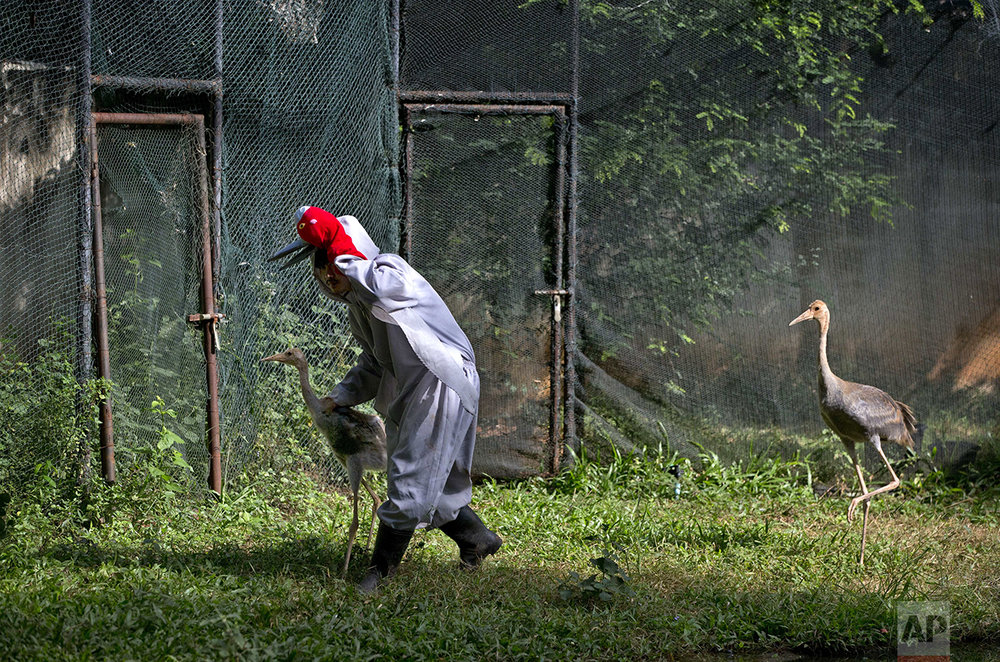 In this Saturday, Nov 5, 2016, photo, bird keeper Sarawut Wongsombat, in a crane suit, leads a young sarus crane back to it's enclosure as another follows him at the Korat Zoo's hatchling center, in Nakhorn Ratchasima, Thailand. (AP Photo/Gemunu Amarasinghe)