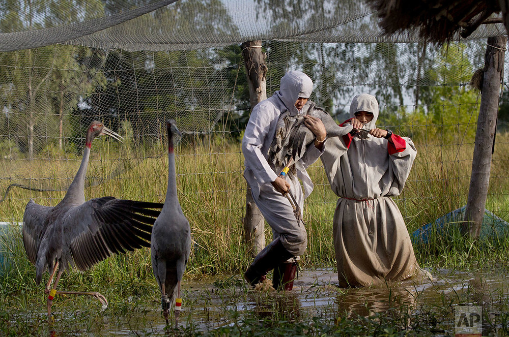 In this Friday, Nov 4, 2016, photo, animal scientists Tanat Uttaraviset, left, and Natawut Wanna, wear crane suits as they carry a sarus crane to be released into the wild at a wetland acclimating center in Buriram, Thailand. (AP Photo/Gemunu Amarasinghe)