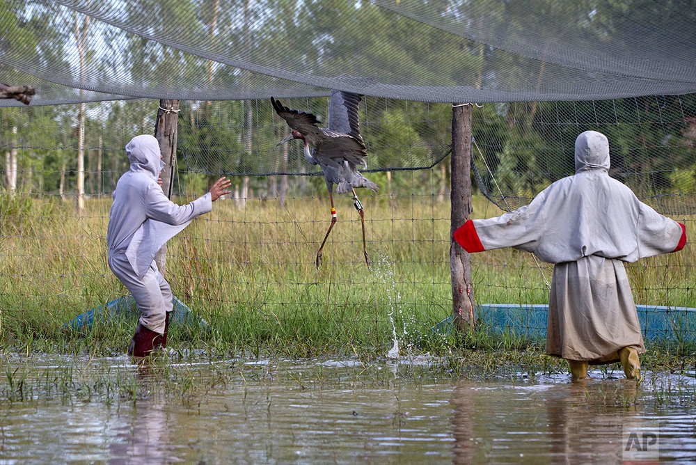 In this Friday, Nov 4, 2016, photo, animal scientists Tanat Uttaraviset, left, and Natawut Wanna wear crane suits as try to catch a sarus crane to release into the at a wetland acclimating center in Buriram, Thailand. (AP Photo/Gemunu Amarasinghe)