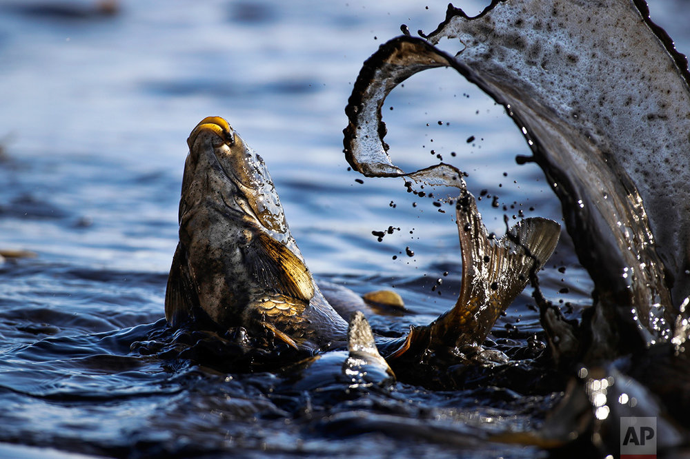 In this photo taken on Tuesday, Oct. 18, 2016, a fish splashes as it is caught by fish farm workers at a drained pond outside the village of Shkolny, 38 miles west of Minsk, Belarus. The fish farm supplies their produce, mainly carp, to local stores. (AP Photo/Sergei Grits)