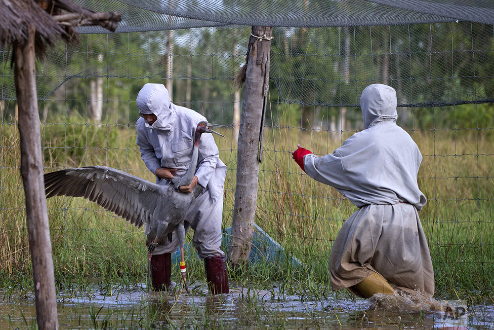 In this Friday, Nov 4, 2016, photo, animal scientists Tanat Uttaraviset, left and Natawut Wanna in crane suits hold a sarus crane to be reintroduce to the wildness at a wetland acclimating center in Buriram, Thailand. (AP Photo/Gemunu Amarasinghe)
