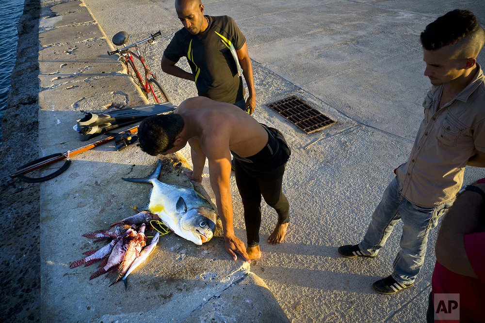 In this Nov. 10, 2016 photo, a diver catches his breath over the fish he just caught, along the malecon seawall in Havana, Cuba. For Cubans, taking advantage of the fishing in water largely protected by Cuba's lack of development remains a challenge. For all but the wealthiest, even the smallest private boats and the fuel for them are too expensive. (AP Photo/Ramon Espinosa)