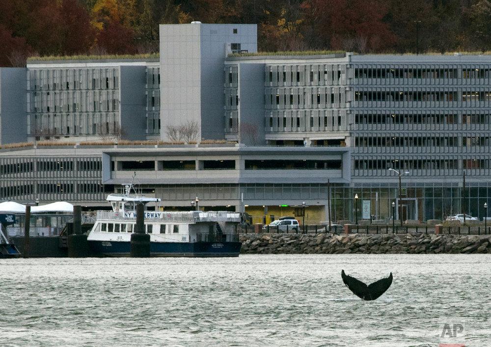 Whales NY Harbor