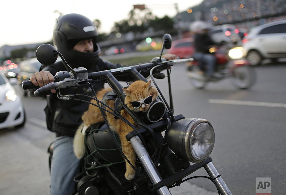 A motorcycle rider carries his cat, Chiquinho, on his bike, near Maracana stadium in Rio de Janeiro, Brazil, on June 19, 2016. (AP Photo/Silvia Izquierdo)