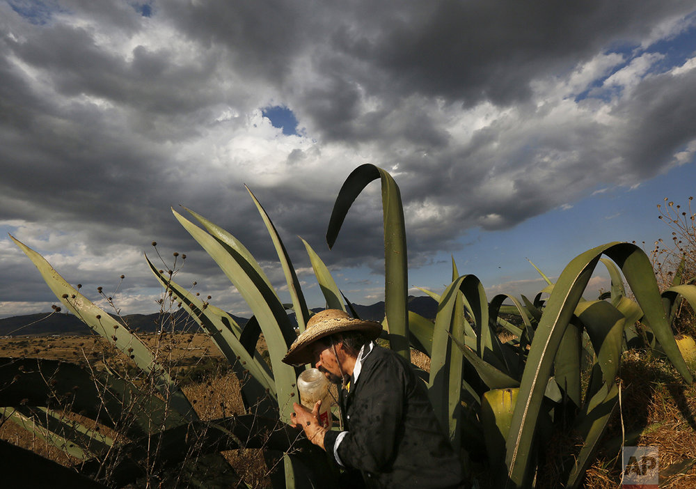 "In this Nov. 30, 2016 photo, pulque producer Antonio Gomez extracts the sugary liquid or ""aguamiel,"" from the hollow section of a maguey plant, in Santiago Cuautlalpan, Mexico. Gomez said pulque was once served in some parts of Mexico in the morning, as well as for health reasons. ""The old people, they say that before, they didn't drink coffee; they had some pulque, tortillas and beans and that was their breakfast,"" he said. (AP Photo/Marco Ugarte)"