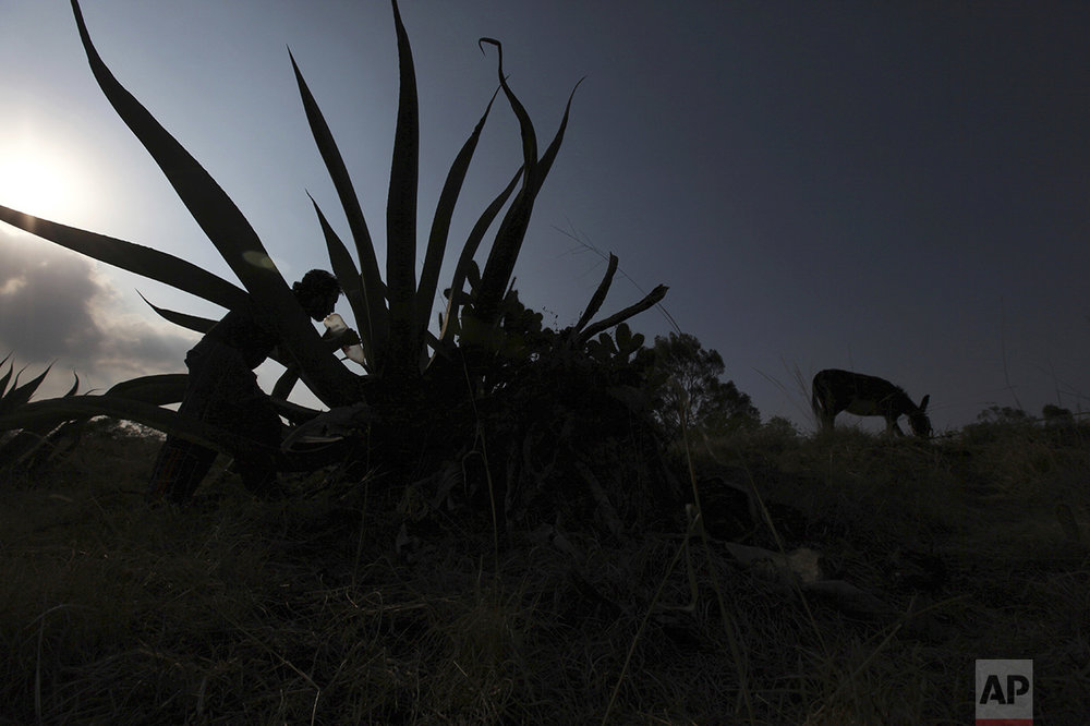 "In this March 6, 2015 photo, pulque producer Juan Ortega Ramirez, accompanied by his donkey Cantia, extracts the sugary liquid, or ""aguamiel,"" from the hollow section of a maguey plant in Santiago Cuautlalpan, Mexico. Pulque producers worry about the old maguey fields that once sustained entire haciendas as they are torn up to make way for subdivisions and shopping malls. (AP Photo/Marco Ugarte)"