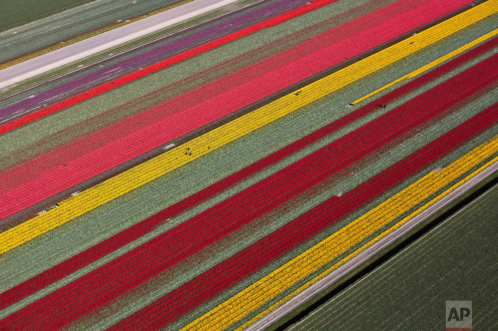 In this Tuesday, May 4, 2016 photo, farmers work in a field of blossoming tulips in Den Helder, northern Netherlands. (AP Photo/Muhammed Muheisen)