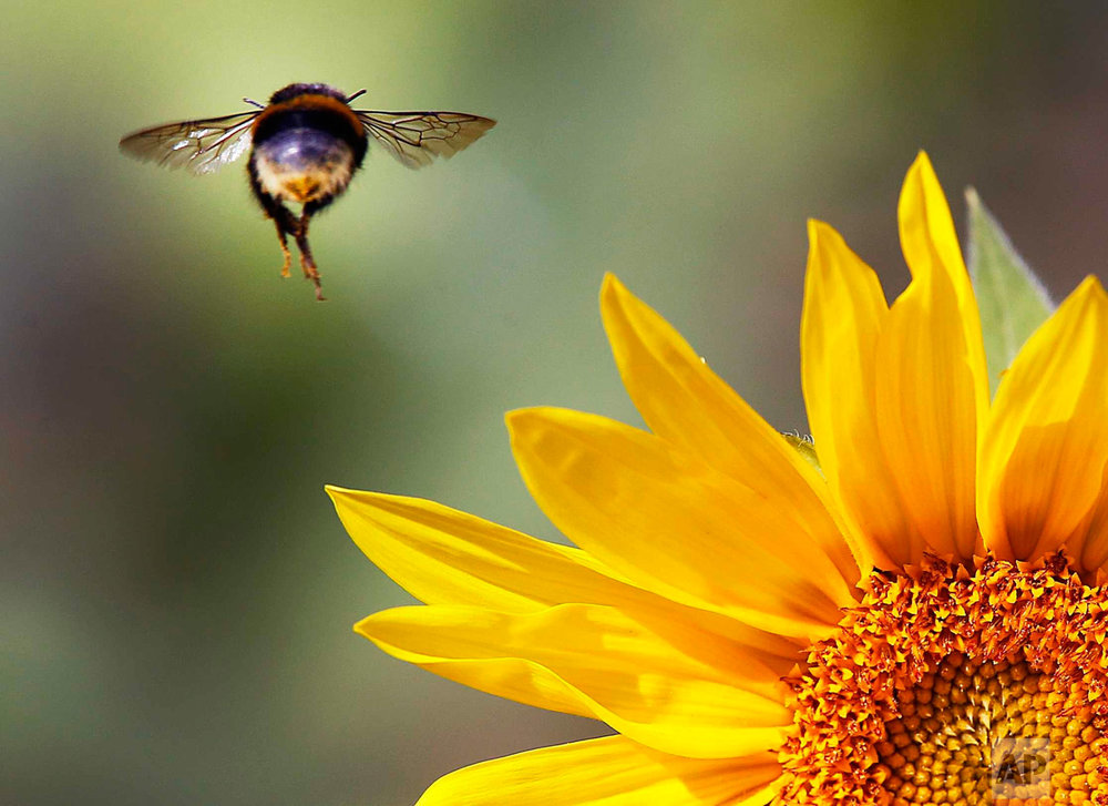 In this Aug. 30, 2016 photo, a bee flies over a sunflower on a field near Frankfurt, Germany. (AP Photo/Michael Probst)