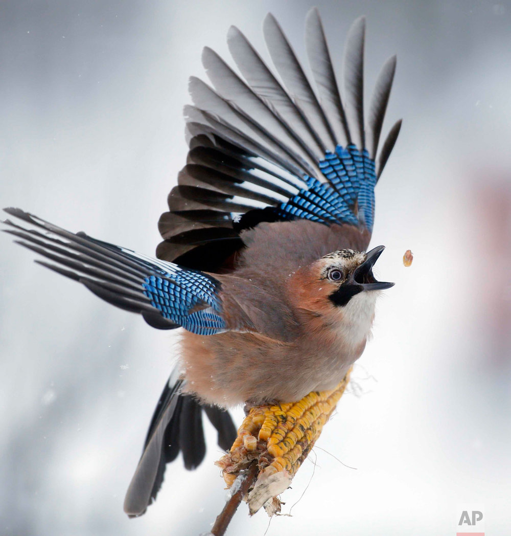 In this Sunday, Jan. 17, 2016 photo, a jay picks kernels in the forest on outskirts of Novogrudok, 150 km (93 miles) west of the capital Minsk, Belarus. (AP Photo/Sergei Grits)