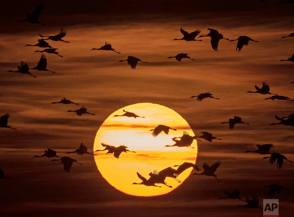 In this Oct. 31, 2016 photo, migrating cranes fly during sunset near Straussfurt, central Germany. The cranes rest in central Germany on their way from breeding places in the north to their wintering grounds in the south. (AP Photo/Jens Meyer)