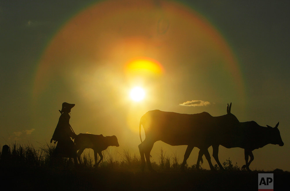 A herder walks with cows during the sunset in Naypytaw, Myanmar, Monday, Nov. 28, 2016. (AP Photo/Aung Shine Oo)