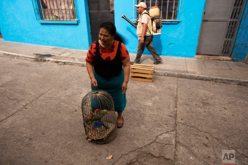 In this Feb. 2, 2016 photo, a woman carries her parrot as a health ministry worker fumigates for Aedes aegypti mosquitoes inside her house at the Bethania neighborhood in Guatemala City. The Aedes aegypti is a mosquito that can spread the Zika virus which has suspected links to birth defects in newborn children. There is no treatment or vaccine for the mosquito-borne virus, which is in the same family of viruses as dengue. (AP Photo/Moises Castillo)