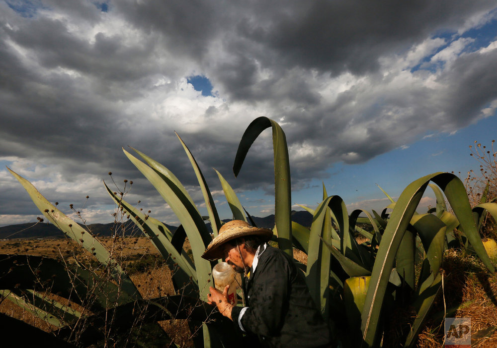 "In this Nov. 30, 2016 photo, pulque producer Antonio Gomez extracts the sugary liquid or ""aguamiel,"" from the hollow section of a maguey plant, in Santiago Cuautlalpan, Mexico. Mexicans have been brewing pulque from the juice of the cactus-like plants for centuries, but the beverage fell out of favor starting in the 1970s as pulque got a reputation as a poor man's drink. But the nutrient-rich drink has made a comeback among a new generation of Mexicans. (AP Photo/Marco Ugarte)"