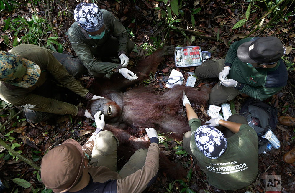 In this Jan. 5, 2016, photo, conservationists of Borneo Orangutan Survival Foundation examine a tranquilized orangutan during a rescue and release operation for orangutans trapped in a swath of jungle in Sungai Mangkutub, Central Kalimantan, Indonesia. A team of conservationists were deployed to rescue orangutans which lost their habitat to the forest fires last year and relocate them to a new location. (AP Photo/Dita Alangkara)