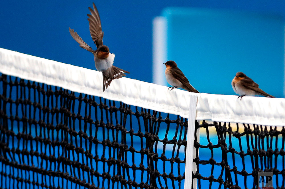 A bird lands on the net on an outside court as light rain delayed play for the second round matches at the Australian Open tennis championships in Melbourne, Australia, Thursday, Jan. 21, 2016. (AP Photo/Shuji Kajiyama)