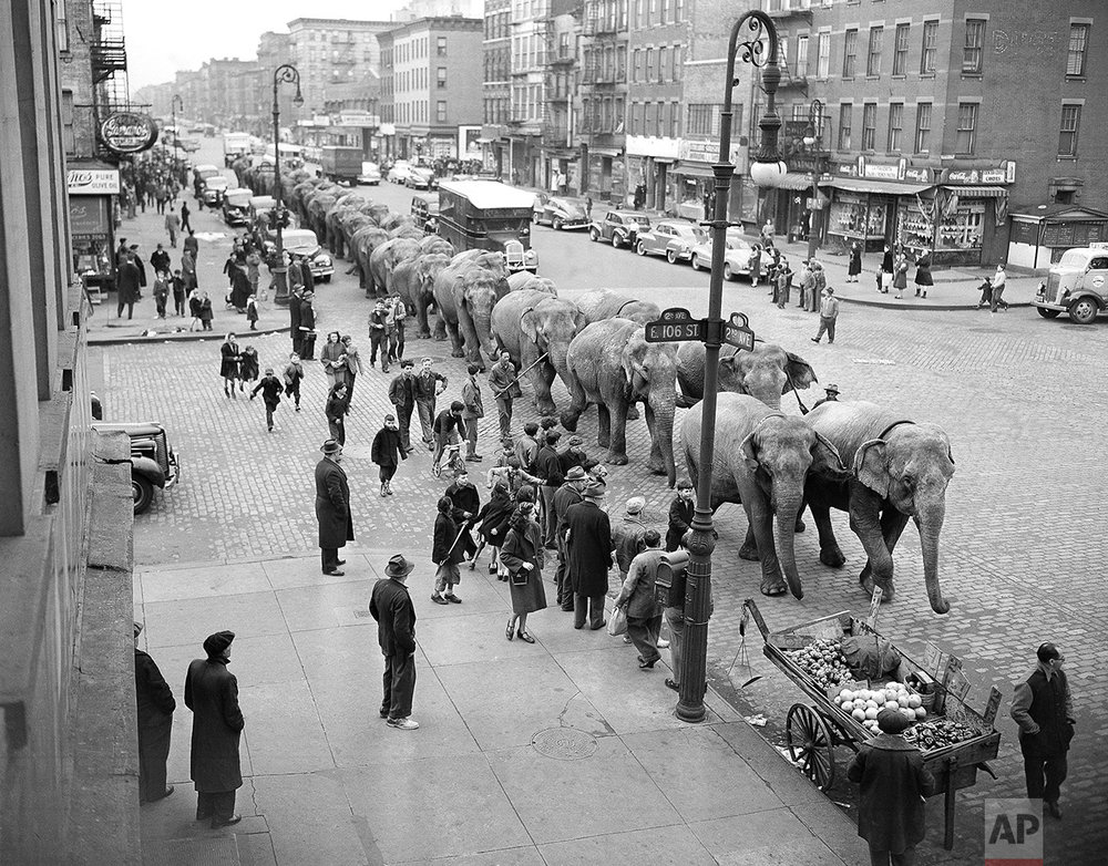 Circus Elephants On Parade 1948
