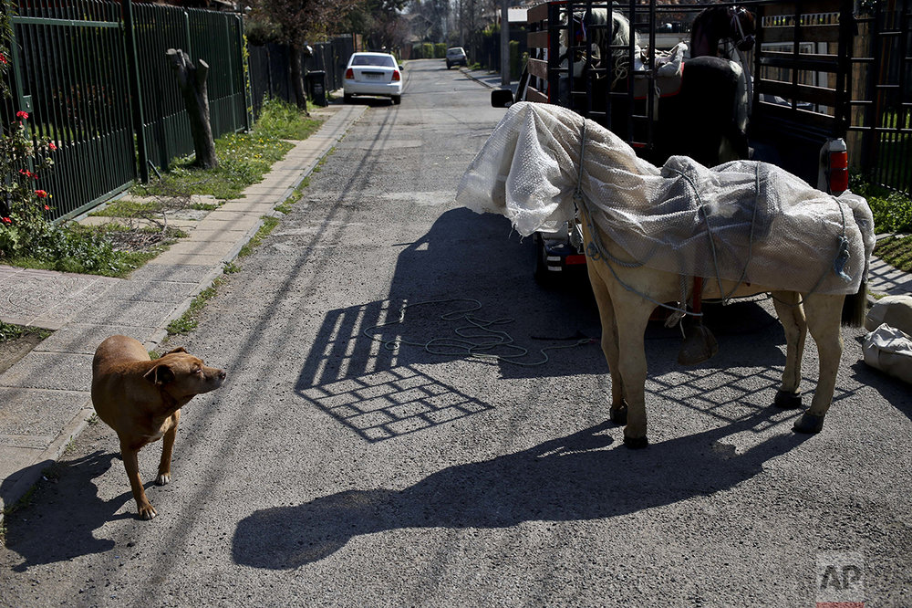 In this Sept. 2, 2016 photo, a dog slows down to timidly check out a fake horse, used as a prop by photographer Luis Maldonado in Santiago, Chile. Maldonado stopped by his friend's home to pick this horse up, along with other props, ahead of an annual fair where he usually has his best day of business taking portraits with his old wooden box camera. (AP Photo/Esteban Felix)