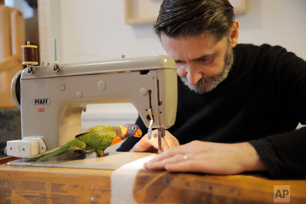 """French fashion designer Franck Sorbier sews with his sewing machine as he prepares his Spring-Summer 2017 Haute Couture fashion collection, in Paris, Friday, Jan. 6, 2017. In a celebrity-driven industry dominated by luxury corporations, Sorbier is an eccentric independent, working with his beloved parakeet """"Lady"""" on his shoulder or perched perilously near the electric sewing machine needle. (AP Photo/Christophe Ena)"""