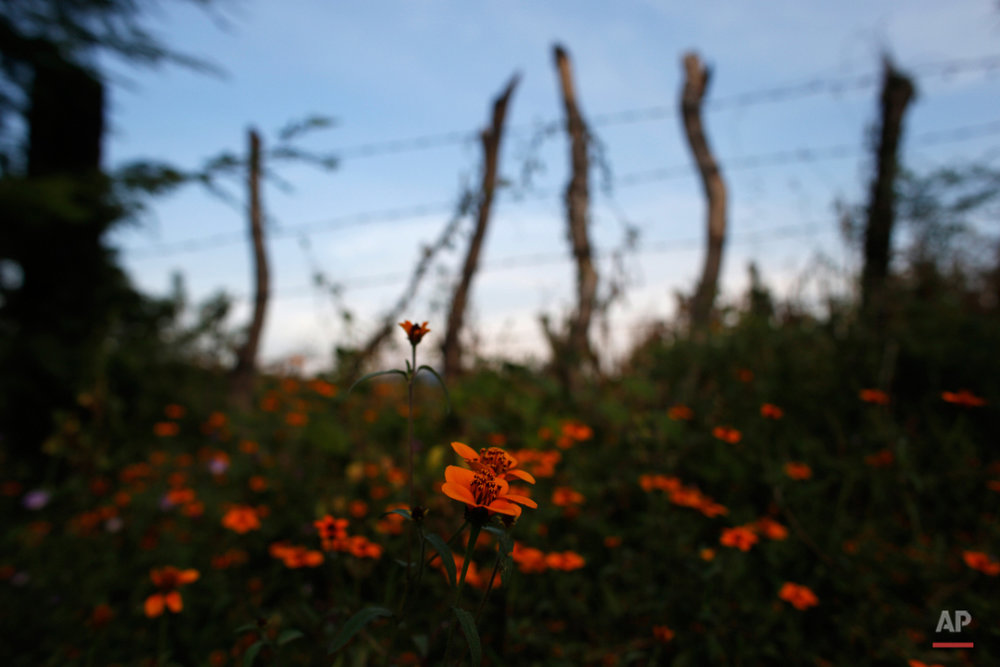 In this Oct. 20, 2015 photo, wildflowers grow in a field where the body of taco vendor Carlos Sanchez and dozens other were found almost a year ago, on the outskirts of Iguala, Mexico. After adding the names of their missing to the lists, many families organized to go into the hills around Iguala to search for bodies of the disappeared. Over many weeks and months, government crews dug up the remains of at least 104 people from unmarked graves found by the families, only 13 of which have been identified by DNA and telltale bits of clothing. (AP Photo/Dario Lopez-Mills)
