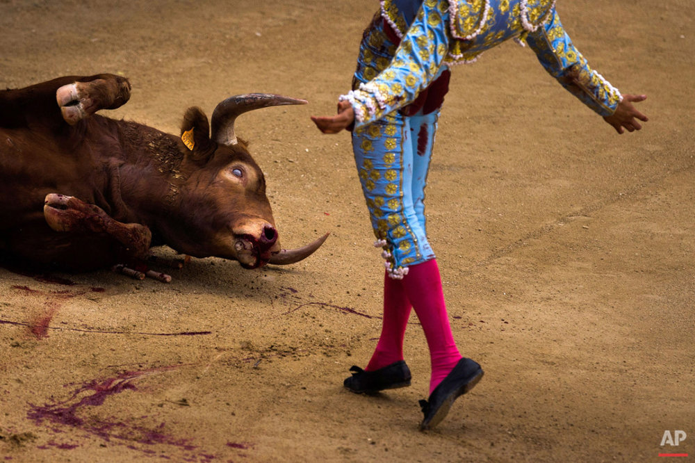 A fighting bull agonizes as bullfighter Andres Roca Rey, from Peru, celebrates after he nailed it with his sword during a bullfight at Las Ventas bullring in Madrid, Spain, Sunday, April 19, 2015. (AP Photo/Andres Kudacki)