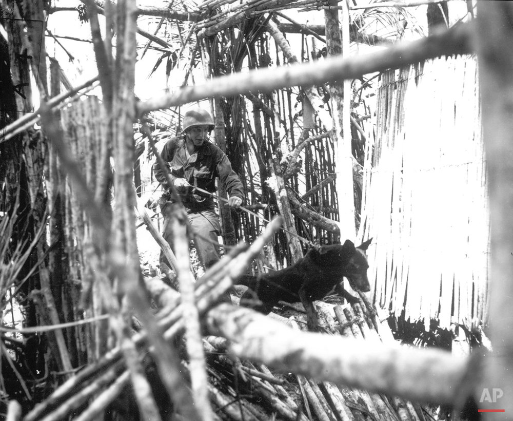 A Marine from the QM War Dog Platoon, his Doberman at the order to attack, is scouting around on Biak island on July 18, 1944. The dogs were used to track down Japanese soldiers hidden in caves or jungle strongholds. (AP Photo)