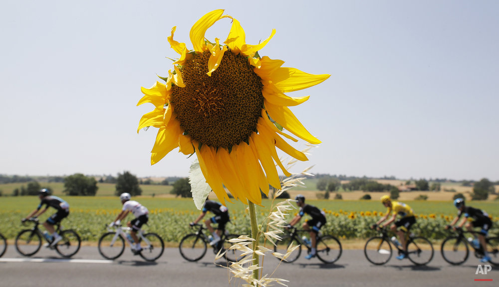 The pack with Britain's Chris Froome, wearing the overall leader's yellow jersey, passes a field with sunflowers during the thirteenth stage of the Tour de France cycling race over 198.5 kilometers (123.3 miles) with start in Muret and finish in Rodez, France, Friday, July 17, 2015. (AP Photo/Laurent Cipriani)
