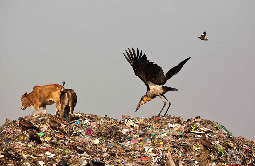 In this Jan. 24, 2017, photo, a Greater Adjutant Stork scavenges for food at a garbage dumping site on the outskirts of Gauhati, India. For decades the big and awkward looking carnivore and scavenging bird was the object of revulsion in its home in northeast India until a group of women took it upon themselves to save the endangered bird. They called themselves the hargila army, for the bird's name in the local Assamese language. In January more than two dozen Greater Adjutant Storks were found dead in this. (AP Photo/ Anupam Nath)