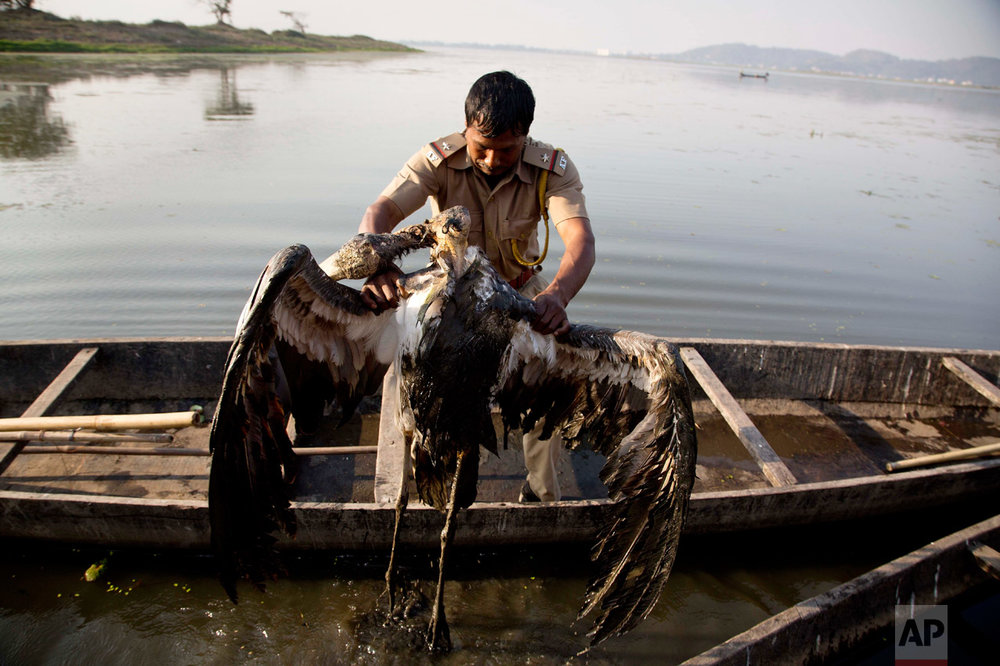 "In this Jan. 24, 2017, photo, a forest official washes a carcass of a Greater Adjutant Stork, an endangered bird, near a garbage dumping site in the Deepor Beel wildlife sanctuary, on the outskirts of Gauhati, India. For decades the big and awkward looking carnivore and scavenging bird was the object of revulsion in its home in northeast India. ""It was seen as a bird with an evil omen that brings in carcass and other rotten stuff,"" wildlife biologist Purnima Devi Barman, who works with a local conservation group called Aranyak, said. ""We had to involve the locals because the bird nests on trees owned by individual households. The future of the Greater Adjutant Stork depends on individual tree owners who used to fell trees earlier to get rid of the nests,"" Barman said. (AP Photo/Anupam Nath)"