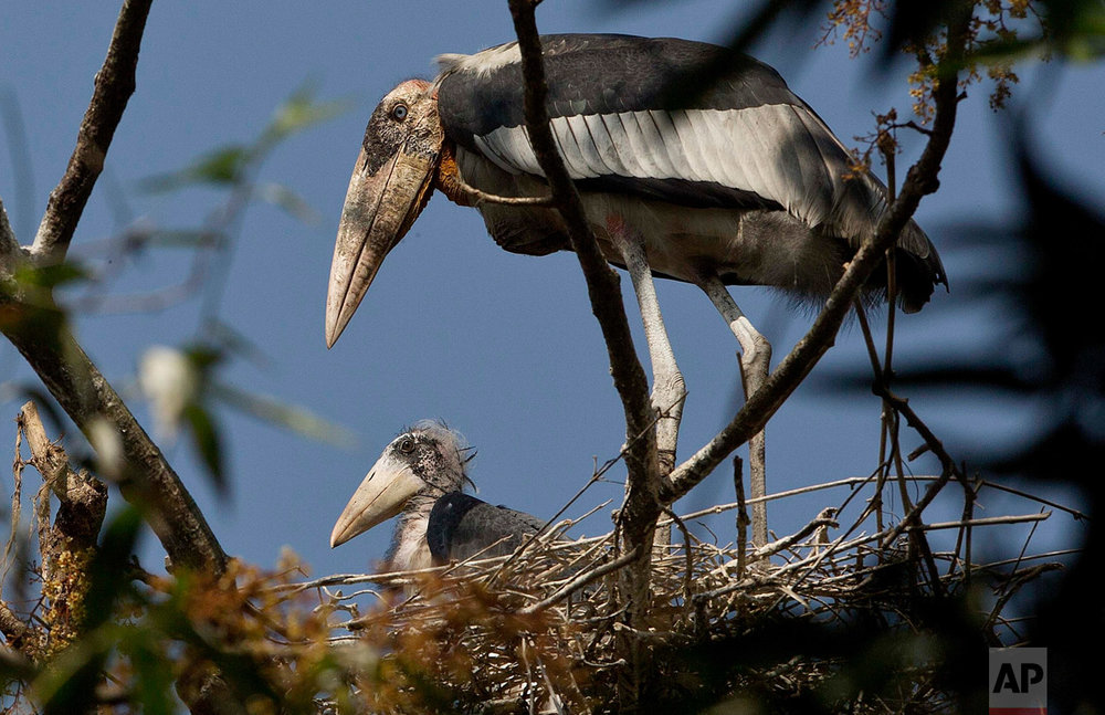 In this Feb. 4, 2017, photo, a Greater Adjutant Stork, an endangered bird, rests in a nest with a baby at Dadara village, west of Gauhati, India. For decades the big and awkward looking carnivore and scavenging bird was the object of revulsion in its home in northeast India until a group of women took it upon themselves to save the endangered bird. They called themselves the hargila army, for the bird's name in the local Assamese language. Nearly 150 local women now pray, sing hymns, weave scarves and other items on their handlooms with the motifs of the bird, to create awareness about the need to protect the species. (AP Photo/Anupam Nath)