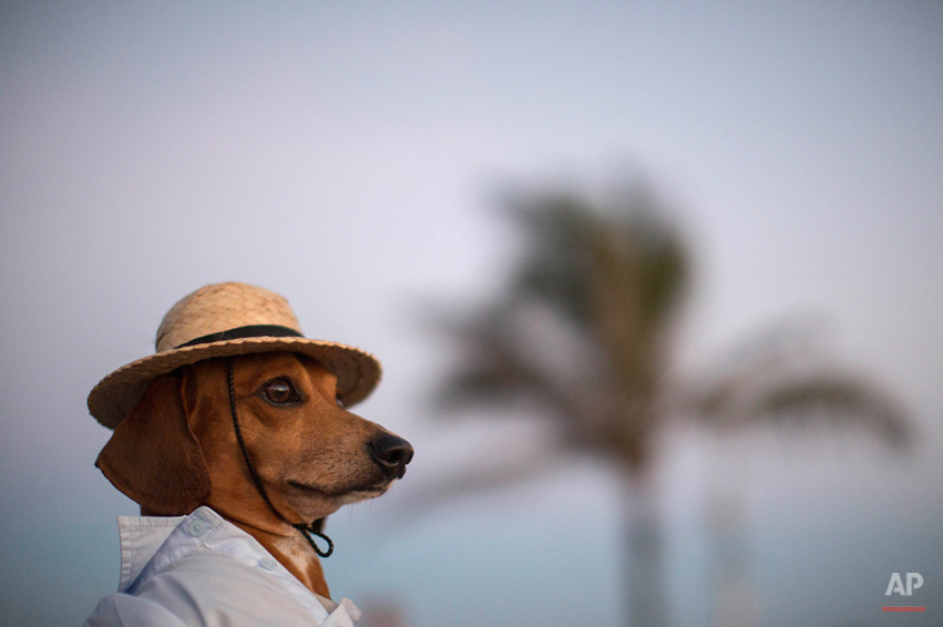 A dog named Caique wears a hat and shirt on Arpoador beach in Rio de Janeiro, Brazil, Saturday, Jan. 18, 2014. Caique's owners said they like to dress Caique up for dog parades and that they enjoy pedestrians taking his picture during his daily walks. (AP Photo/Felipe Dana)