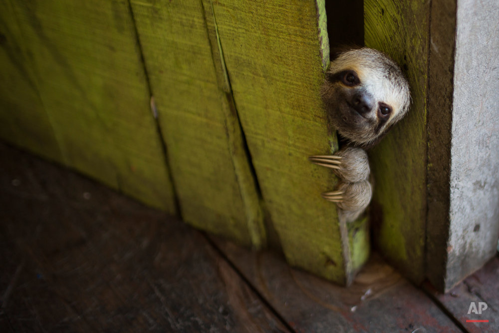 A sloth peeks out from behind a door on a floating house in the 'Lago do Janauari' near Manaus, Brazil, Tuesday, May 20, 2014. Manaus is one of the host cities for the 2014 World Cup in Brazil. (AP Photo/Felipe Dana)