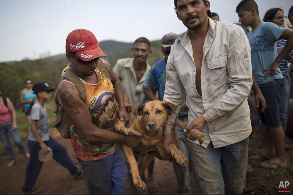 People carry an injured dog they rescued in the small town of Bento Rodrigues, which flooded after a dam burst in Minas Gerais state, Brazil, Saturday, Nov. 7, 2015. Brazilian searchers are looking for people still listed as missing following the Thursday burst of two dams at an iron ore mine in a southeastern mountainous area. (AP Photo/Felipe Dana)